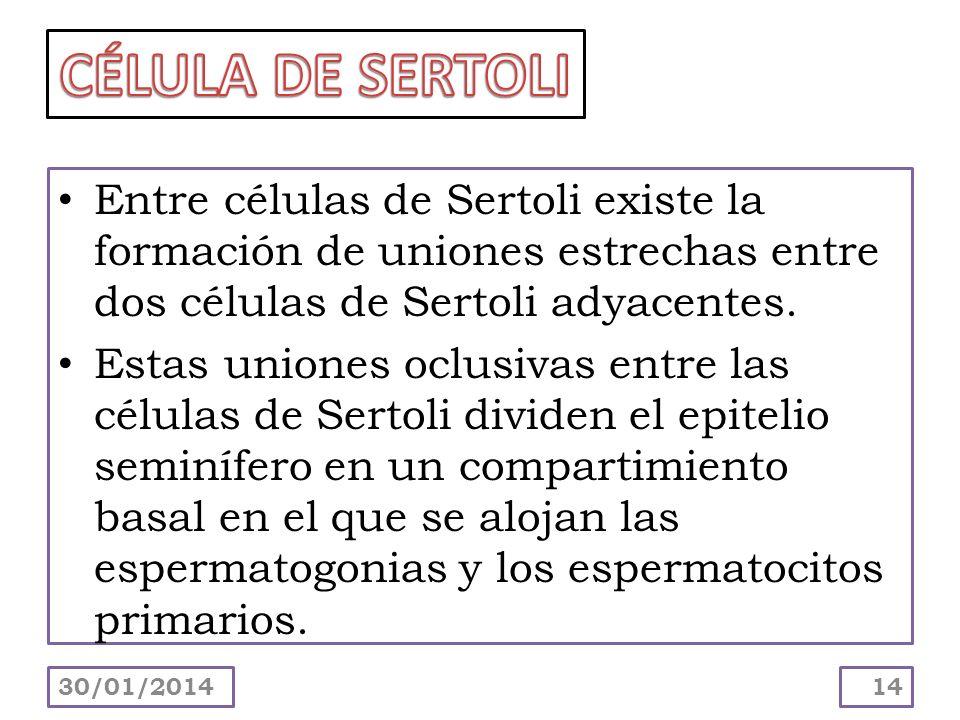 Entre células de Sertoli existe la formación de uniones estrechas entre dos células de Sertoli adyacentes. Estas uniones oclusivas entre las células d