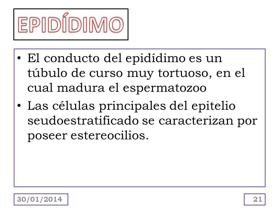 El conducto del epidídimo es un túbulo de curso muy tortuoso, en el cual madura el espermatozoo Las células principales del epitelio seudoestratificad