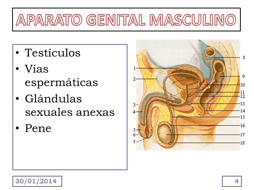 Testículos Vías espermáticas Glándulas sexuales anexas Pene 30/01/20144
