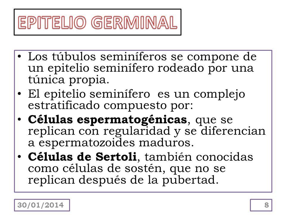 Los túbulos seminíferos se compone de un epitelio seminífero rodeado por una túnica propia. El epitelio seminífero es un complejo estratificado compue