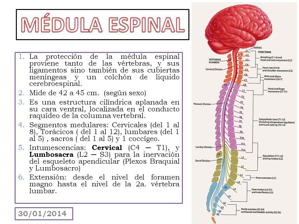 1.La protección de la médula espinal proviene tanto de las vértebras, y sus ligamentos sino también de sus cubiertas meníngeas y un colchón de liquido