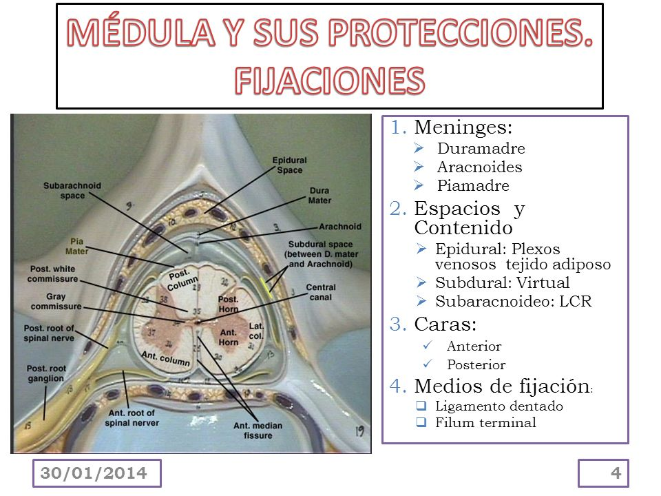 1.Meninges: Duramadre Aracnoides Piamadre 2.Espacios y Contenido Epidural: Plexos venosos tejido adiposo Subdural: Virtual Subaracnoideo: LCR 3.Caras: