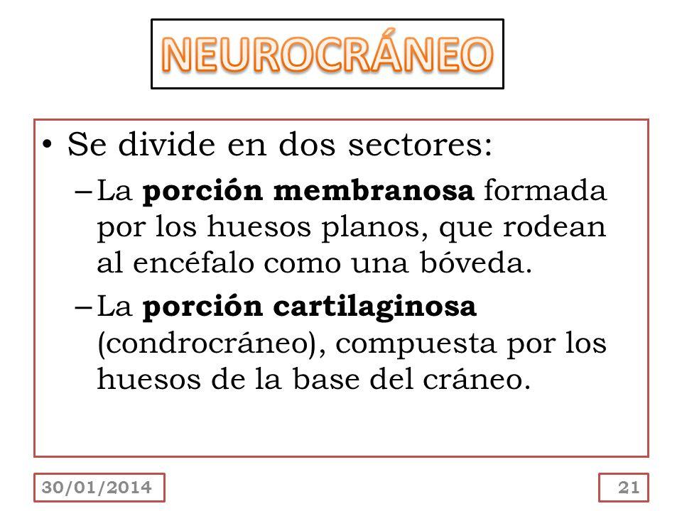 Se divide en dos sectores: – La porción membranosa formada por los huesos planos, que rodean al encéfalo como una bóveda. – La porción cartilaginosa (