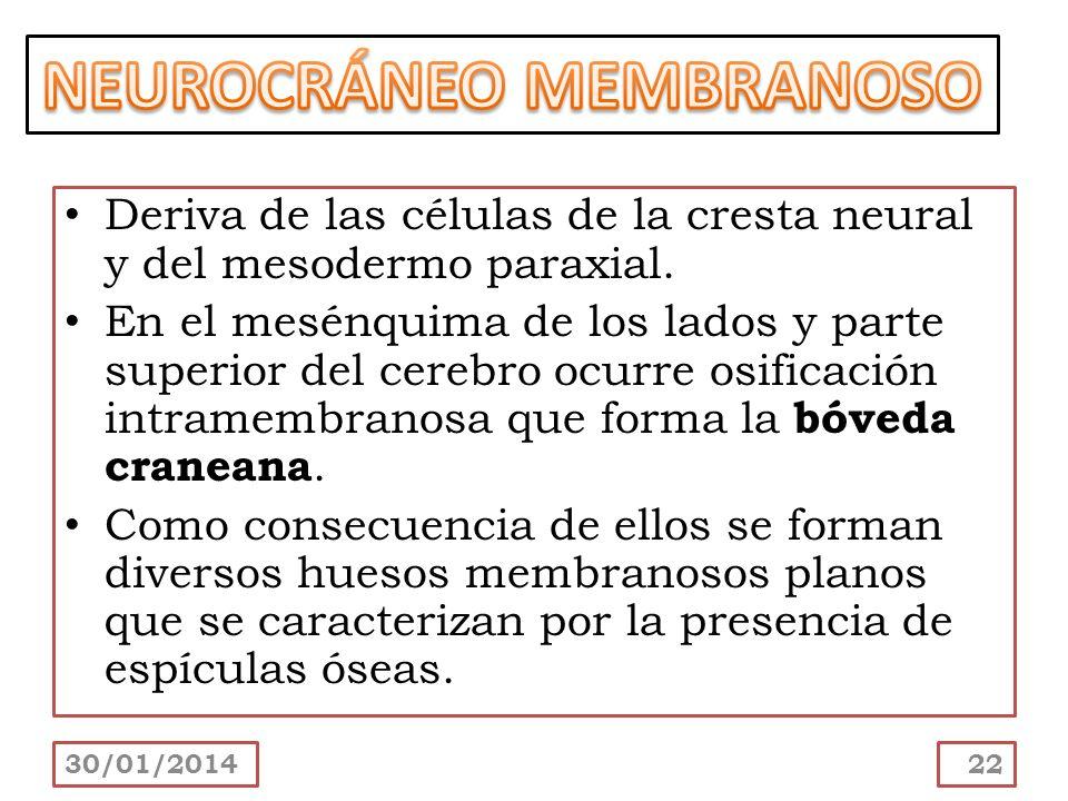 Deriva de las células de la cresta neural y del mesodermo paraxial. En el mesénquima de los lados y parte superior del cerebro ocurre osificación intr