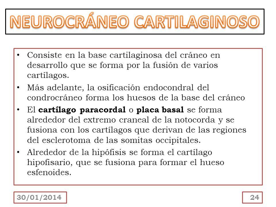 Consiste en la base cartilaginosa del cráneo en desarrollo que se forma por la fusión de varios cartílagos. Más adelante, la osificación endocondral d
