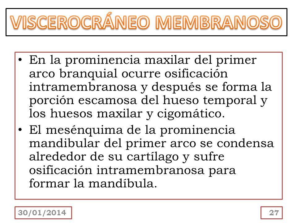 En la prominencia maxilar del primer arco branquial ocurre osificación intramembranosa y después se forma la porción escamosa del hueso temporal y los