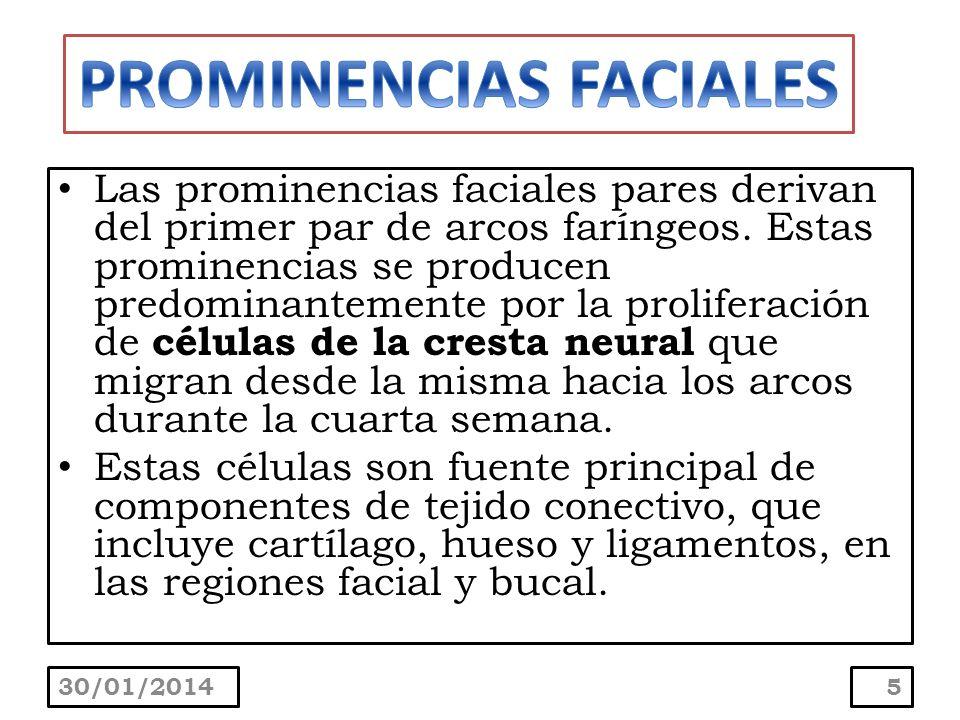 Las prominencias faciales pares derivan del primer par de arcos faríngeos. Estas prominencias se producen predominantemente por la proliferación de cé