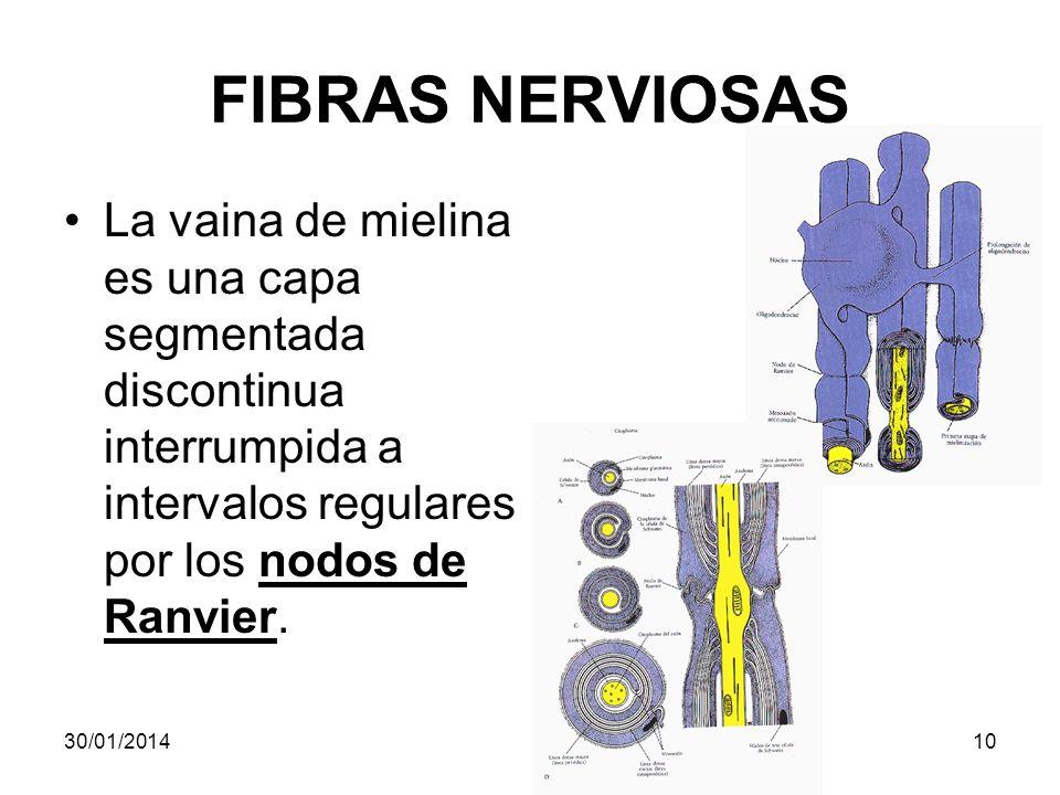 FIBRAS NERVIOSAS La vaina de mielina es una capa segmentada discontinua interrumpida a intervalos regulares por los nodos de Ranvier. 30/01/201410