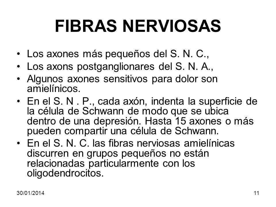 FIBRAS NERVIOSAS Los axones más pequeños del S. N. C., Los axons postganglionares del S. N. A., Algunos axones sensitivos para dolor son amielínicos.