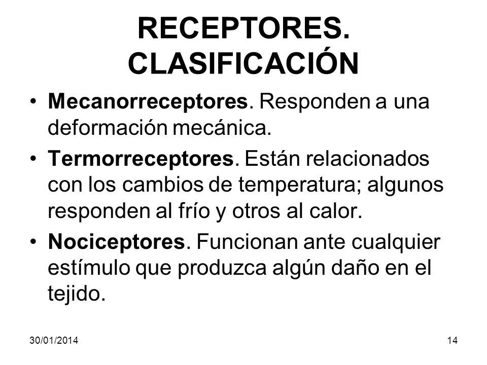 RECEPTORES. CLASIFICACIÓN Mecanorreceptores. Responden a una deformación mecánica. Termorreceptores. Están relacionados con los cambios de temperatura
