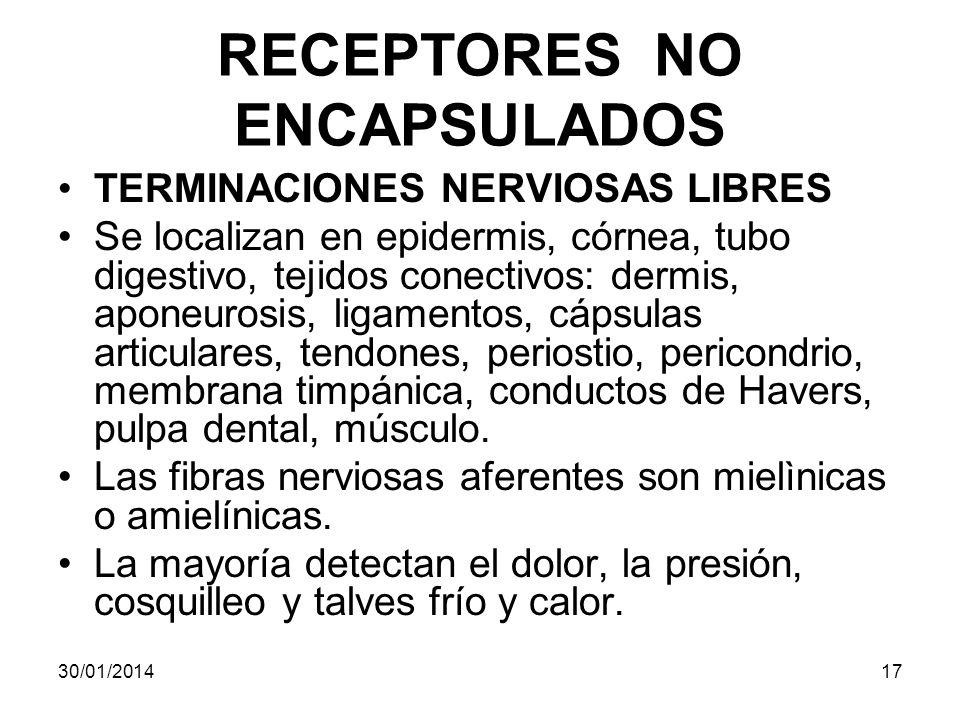 RECEPTORES NO ENCAPSULADOS TERMINACIONES NERVIOSAS LIBRES Se localizan en epidermis, córnea, tubo digestivo, tejidos conectivos: dermis, aponeurosis,