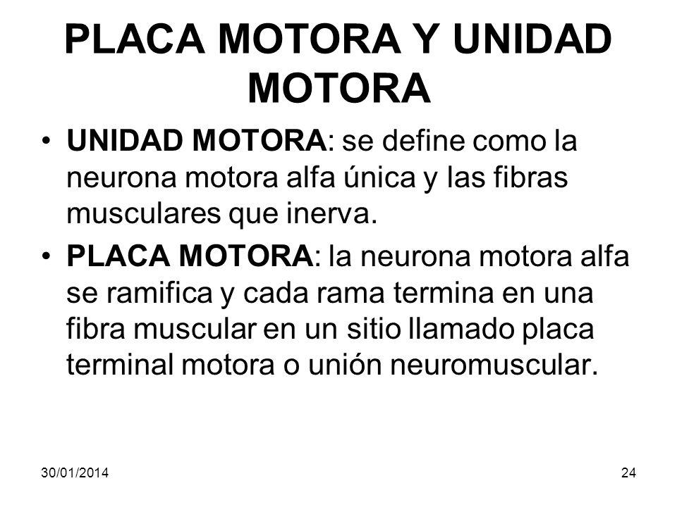PLACA MOTORA Y UNIDAD MOTORA UNIDAD MOTORA: se define como la neurona motora alfa única y las fibras musculares que inerva. PLACA MOTORA: la neurona m