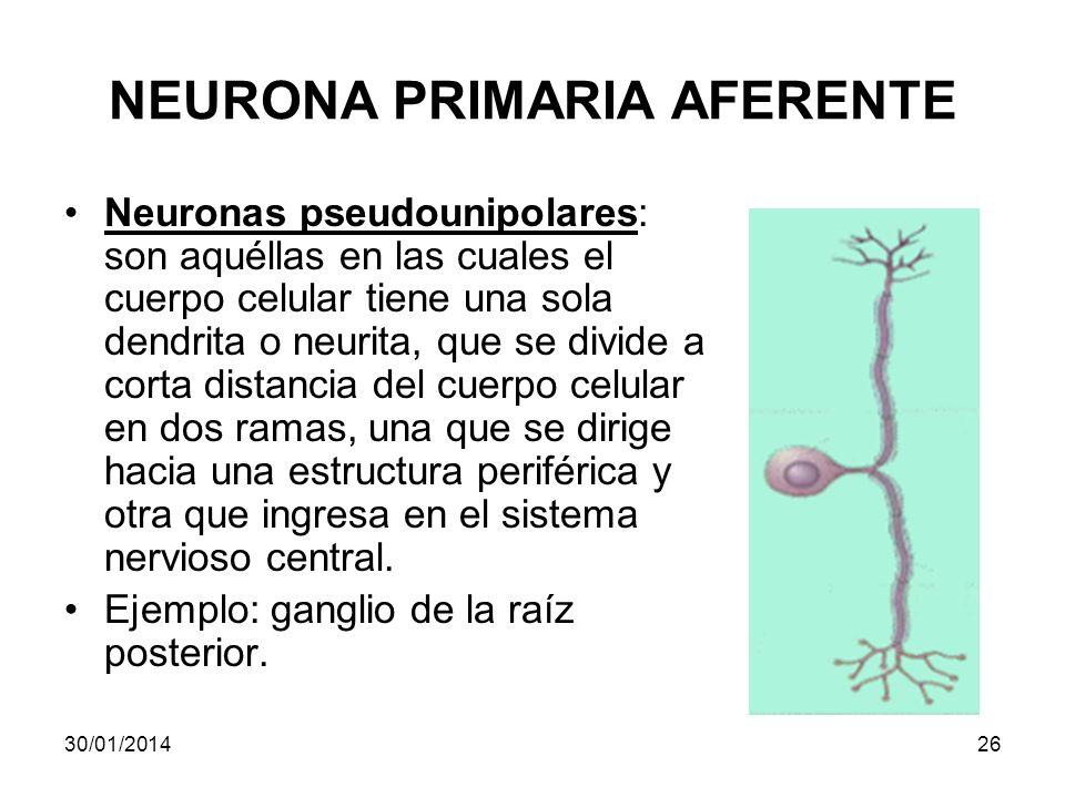 NEURONA PRIMARIA AFERENTE Neuronas pseudounipolares: son aquéllas en las cuales el cuerpo celular tiene una sola dendrita o neurita, que se divide a c