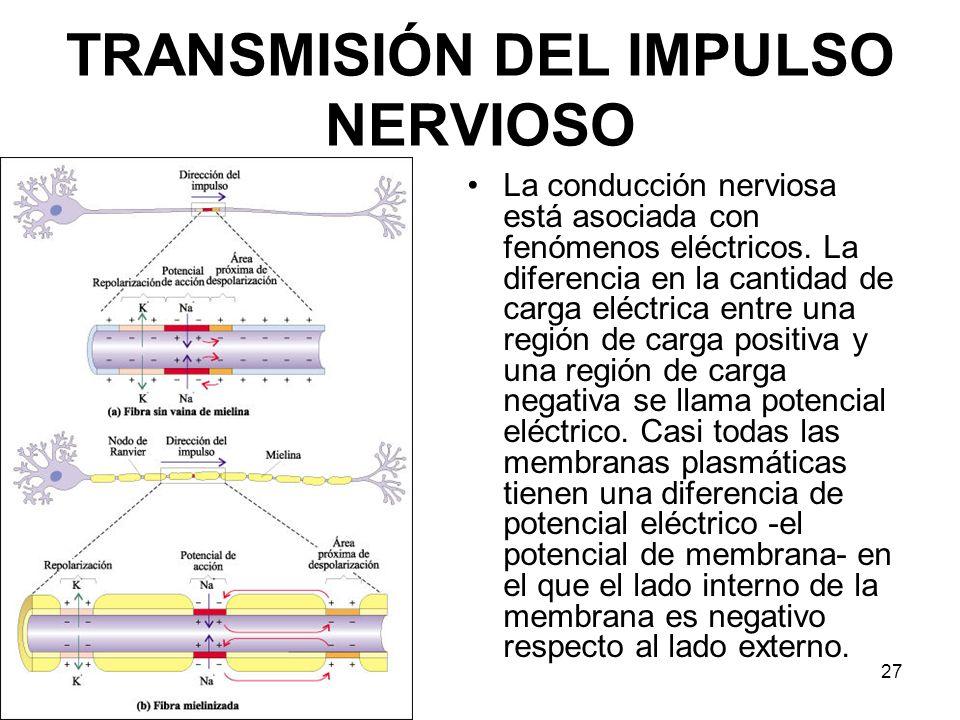 TRANSMISIÓN DEL IMPULSO NERVIOSO La conducción nerviosa está asociada con fenómenos eléctricos. La diferencia en la cantidad de carga eléctrica entre