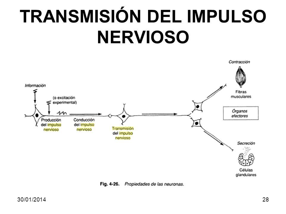 TRANSMISIÓN DEL IMPULSO NERVIOSO 30/01/201428