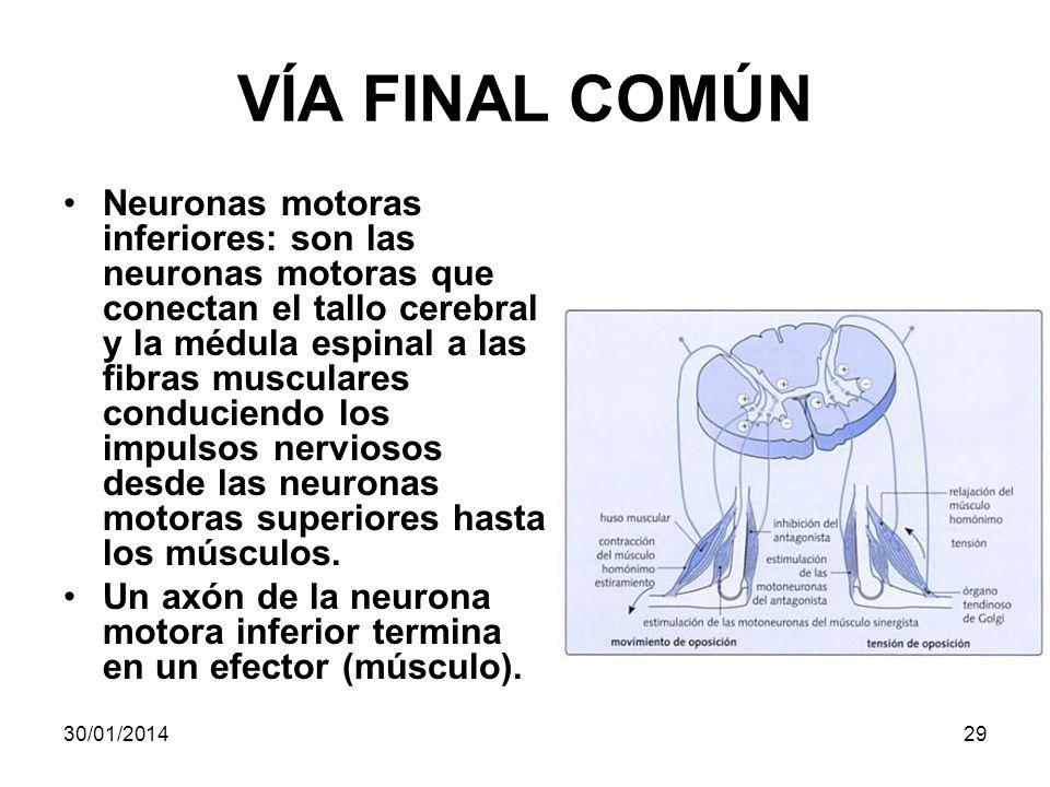 VÍA FINAL COMÚN Neuronas motoras inferiores: son las neuronas motoras que conectan el tallo cerebral y la médula espinal a las fibras musculares condu