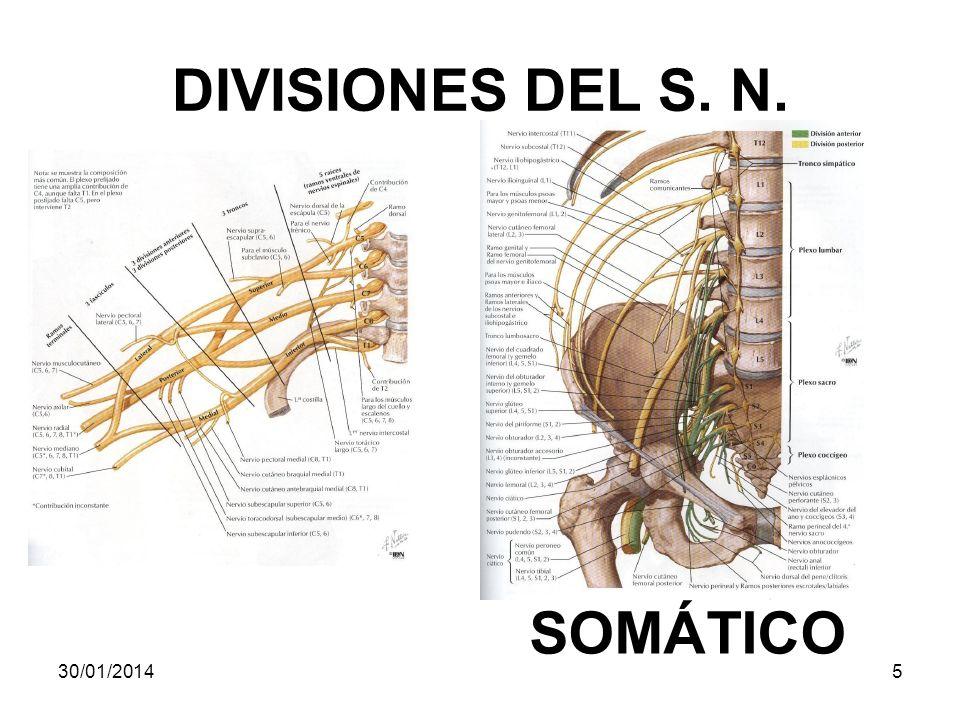 DIVISIONES DEL S. N. SOMÁTICO 30/01/20145
