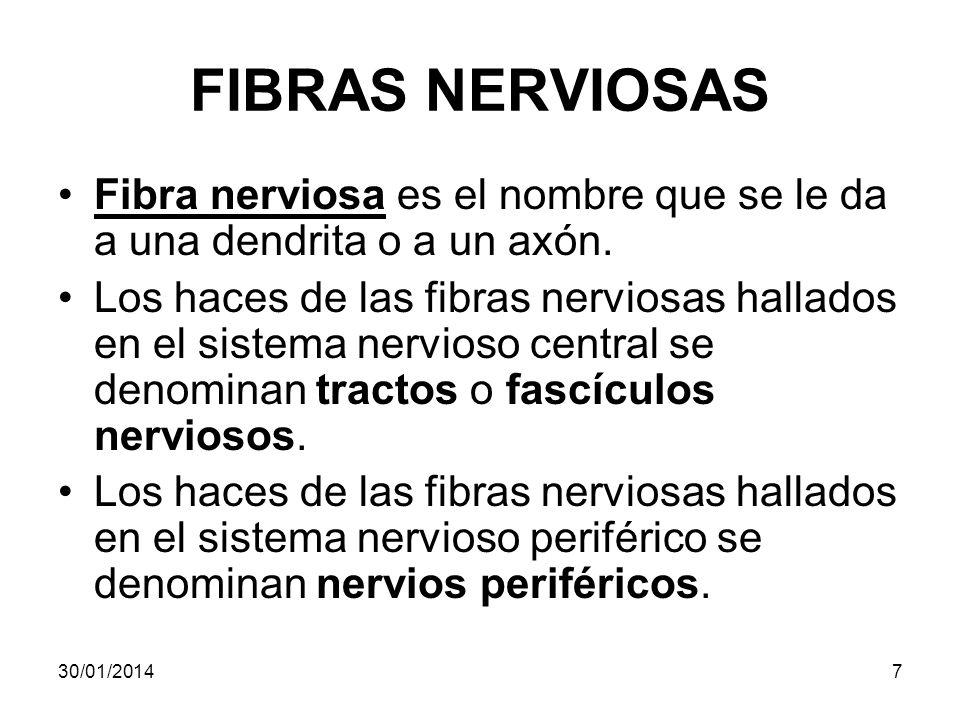 FIBRAS NERVIOSAS Fibra nerviosa es el nombre que se le da a una dendrita o a un axón. Los haces de las fibras nerviosas hallados en el sistema nervios