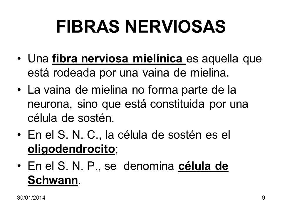 FIBRAS NERVIOSAS Una fibra nerviosa mielínica es aquella que está rodeada por una vaina de mielina. La vaina de mielina no forma parte de la neurona,