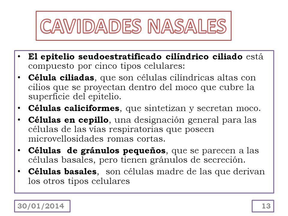 Segmento olfatorio : está situado en la parte del techo de cada cavidad nasal.