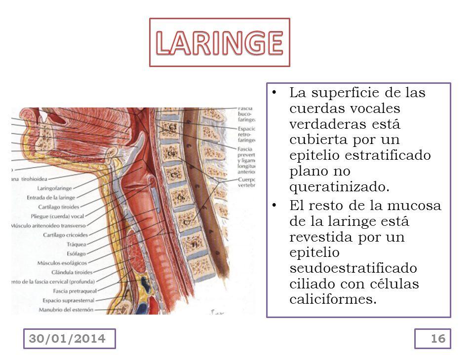 La superficie de las cuerdas vocales verdaderas está cubierta por un epitelio estratificado plano no queratinizado. El resto de la mucosa de la laring