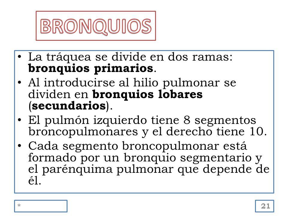 La tráquea se divide en dos ramas: bronquios primarios. Al introducirse al hilio pulmonar se dividen en bronquios lobares ( secundarios ). El pulmón i