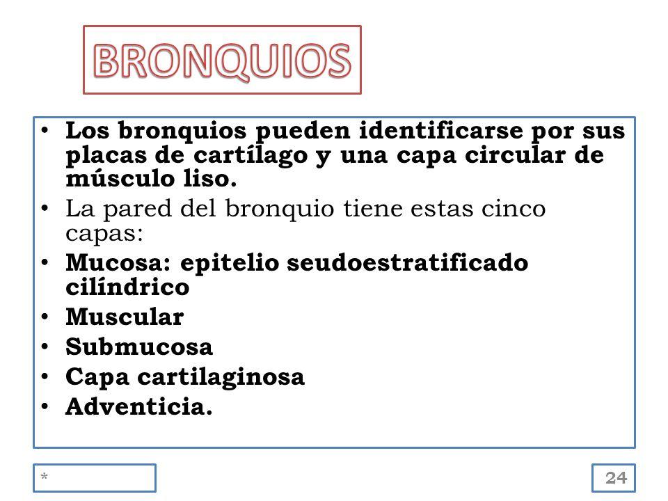 Los bronquios pueden identificarse por sus placas de cartílago y una capa circular de músculo liso. La pared del bronquio tiene estas cinco capas: Muc