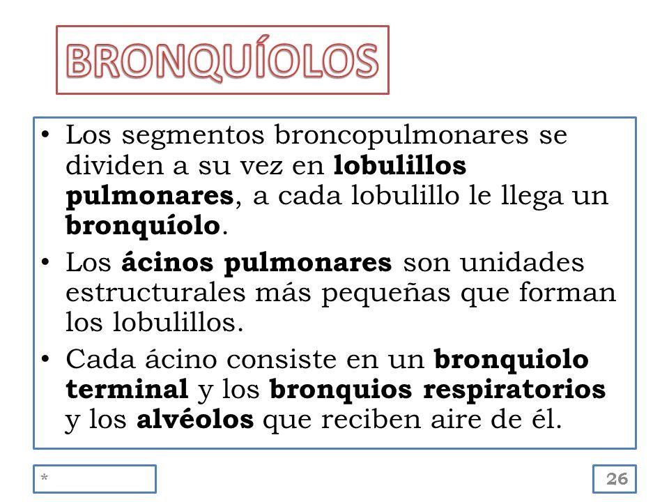 Los segmentos broncopulmonares se dividen a su vez en lobulillos pulmonares, a cada lobulillo le llega un bronquíolo. Los ácinos pulmonares son unidad