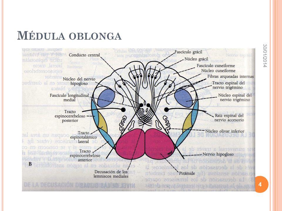 TRACTOS DESCENDENTES TRACTO VESTIBULOESPINAL: Transmite información relacionada con el control del equilibrio y el control del tono muscular.