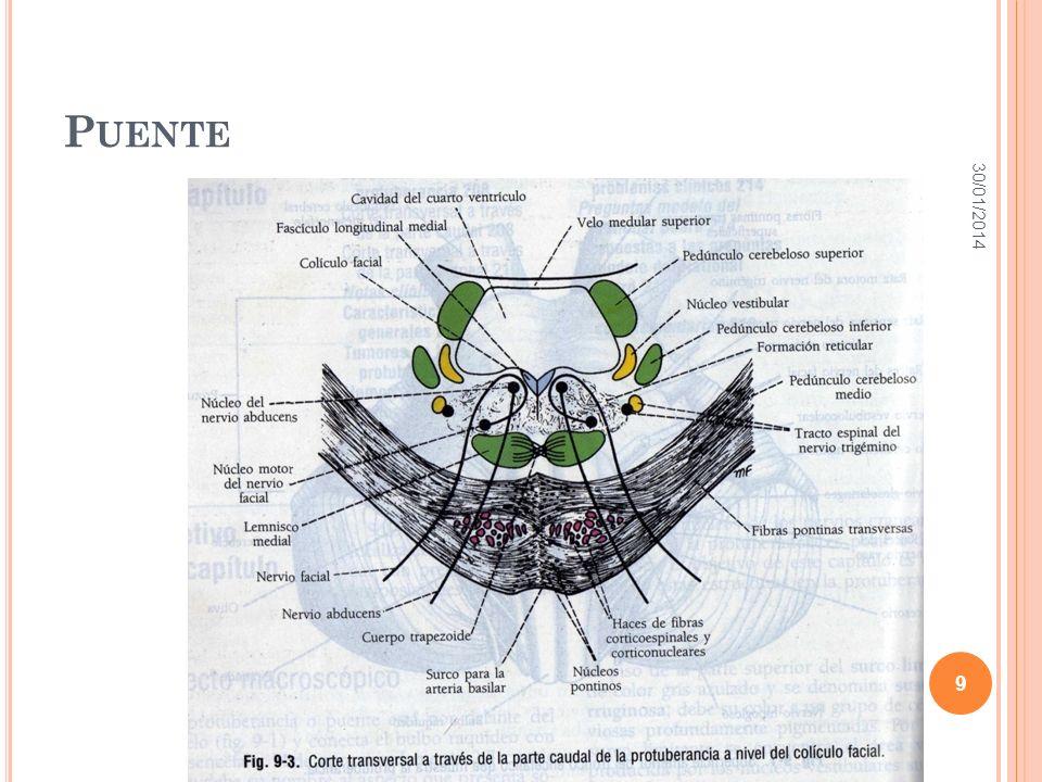 TRACTOS ASCENDENTES TRACTO ESPINOTALÁMICO LATERAL: Información termoanalgésica.