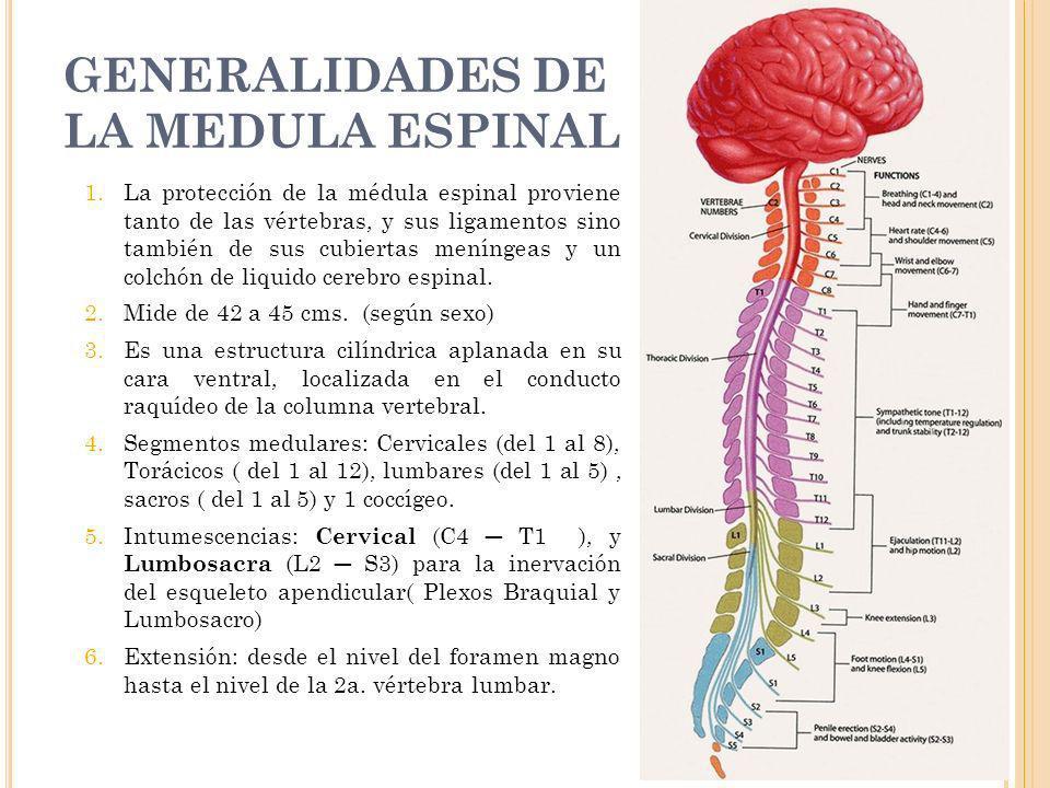 GENERALIDADES DE LA MEDULA ESPINAL 30/01/2014 7 1.La protección de la médula espinal proviene tanto de las vértebras, y sus ligamentos sino también de