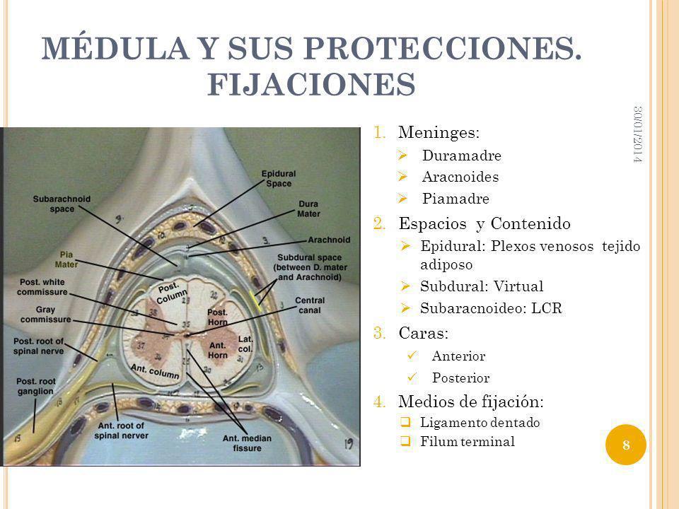 MÉDULA Y SUS PROTECCIONES. FIJACIONES 30/01/2014 8 1.Meninges: Duramadre Aracnoides Piamadre 2.Espacios y Contenido Epidural: Plexos venosos tejido ad