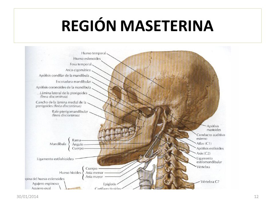 REGIÓN MASETERINA 30/01/201412