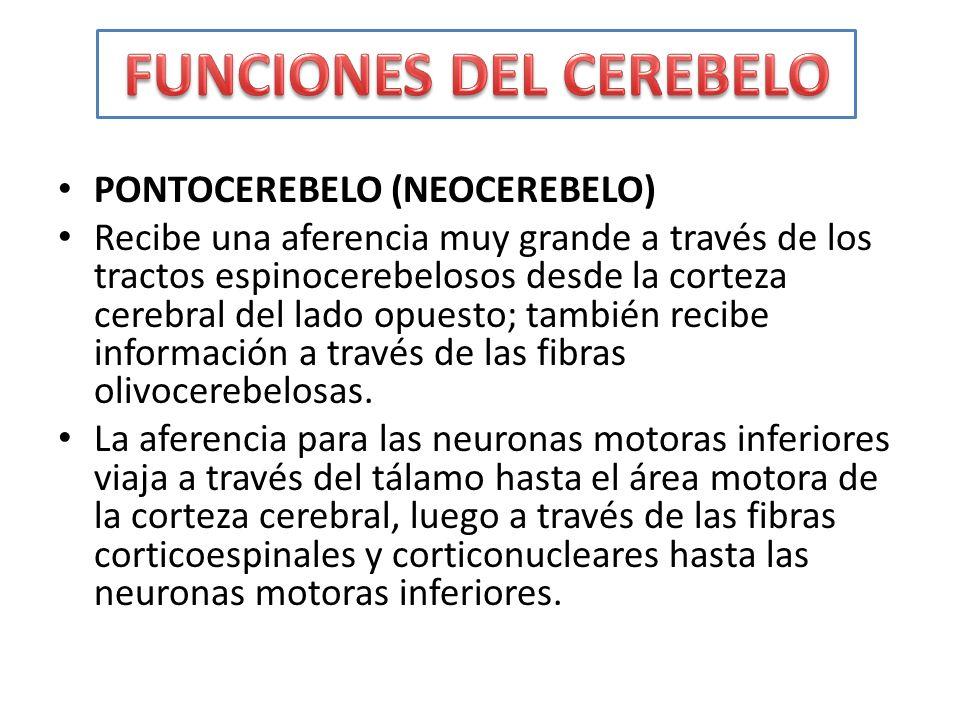 PONTOCEREBELO (NEOCEREBELO) Recibe una aferencia muy grande a través de los tractos espinocerebelosos desde la corteza cerebral del lado opuesto; tamb