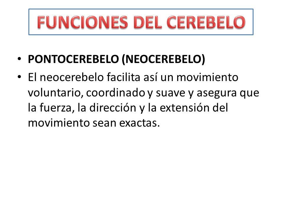 PONTOCEREBELO (NEOCEREBELO) El neocerebelo facilita así un movimiento voluntario, coordinado y suave y asegura que la fuerza, la dirección y la extens