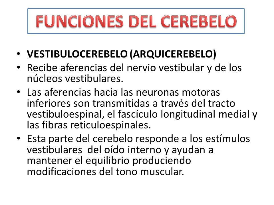 VESTIBULOCEREBELO (ARQUICEREBELO) Recibe aferencias del nervio vestibular y de los núcleos vestibulares. Las aferencias hacia las neuronas motoras inf