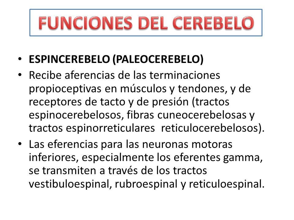ESPINCEREBELO (PALEOCEREBELO) Recibe aferencias de las terminaciones propioceptivas en músculos y tendones, y de receptores de tacto y de presión (tra