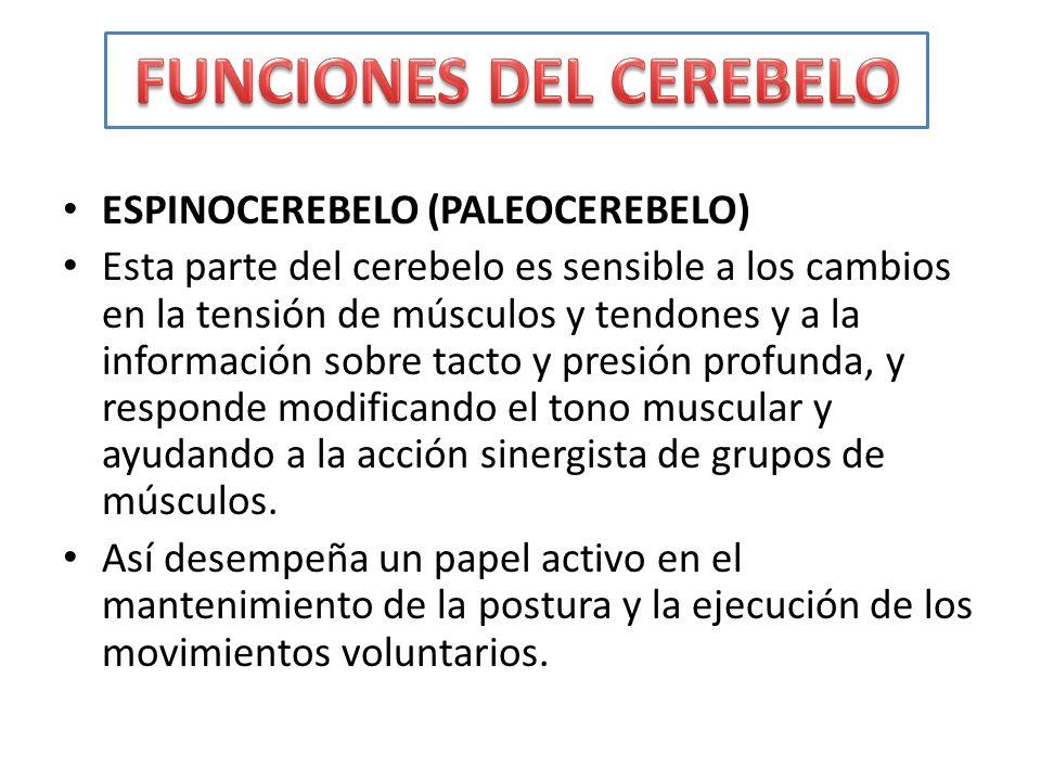 ESPINOCEREBELO (PALEOCEREBELO) Esta parte del cerebelo es sensible a los cambios en la tensión de músculos y tendones y a la información sobre tacto y