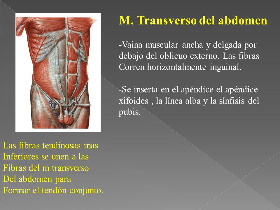 M.Transverso del abdomen -Vaina muscular ancha y delgada por debajo del oblicuo externo.