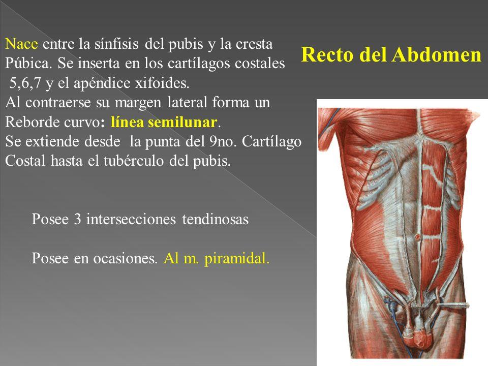Recto del Abdomen Nace entre la sínfisis del pubis y la cresta Púbica.