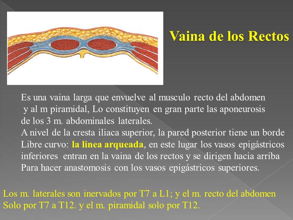 Vaina de los Rectos Es una vaina larga que envuelve al musculo recto del abdomen y al m piramidal, Lo constituyen en gran parte las aponeurosis de los 3 m.