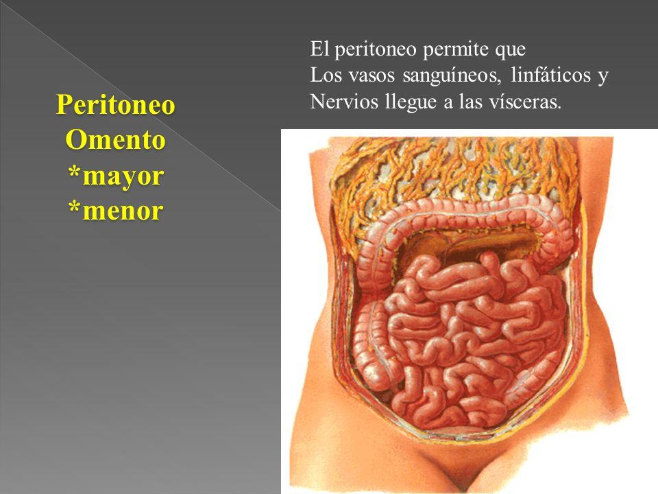 PeritoneoOmento*mayor*menor El peritoneo permite que Los vasos sanguíneos, linfáticos y Nervios llegue a las vísceras.