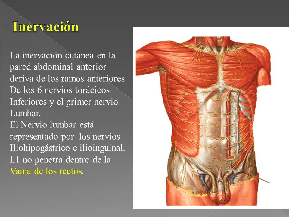 La inervación cutánea en la pared abdominal anterior deriva de los ramos anteriores De los 6 nervios torácicos Inferiores y el primer nervio Lumbar.