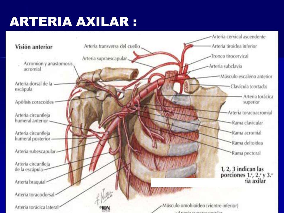 ARTERIA AXILAR :