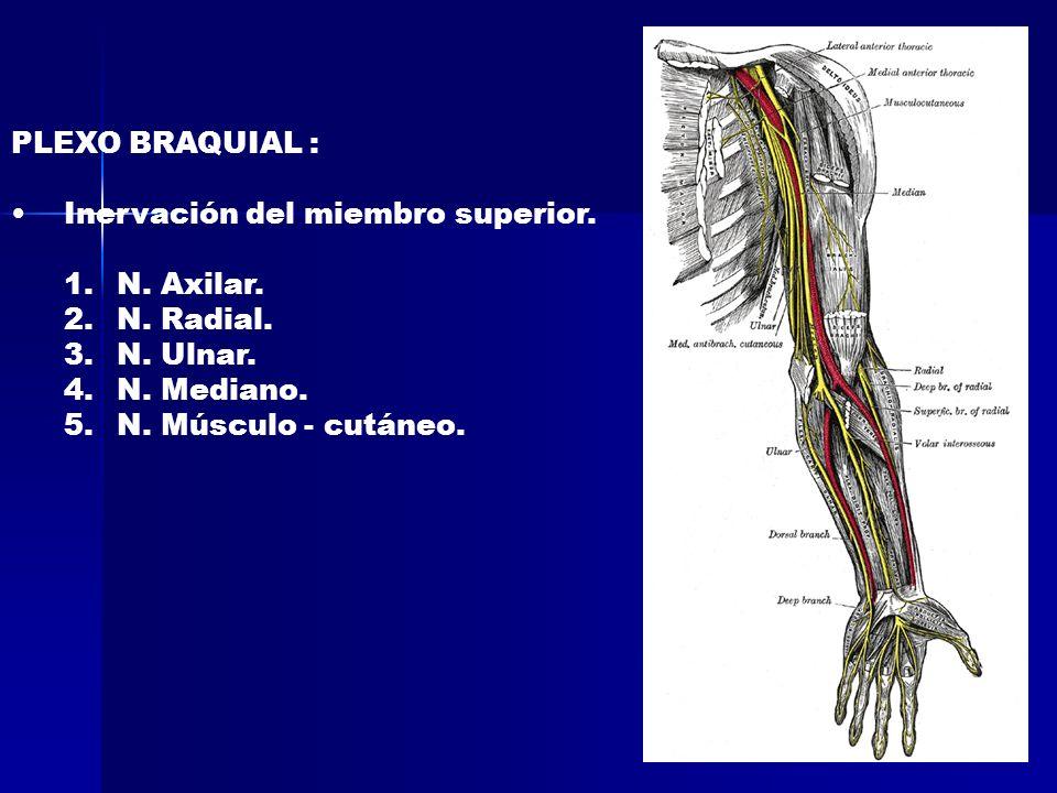 PLEXO BRAQUIAL : Inervación del miembro superior. 1.N. Axilar. 2.N. Radial. 3.N. Ulnar. 4.N. Mediano. 5.N. Músculo - cutáneo.