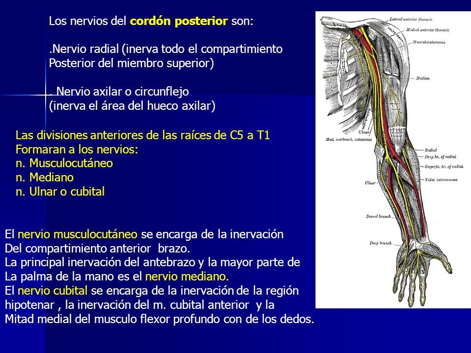 Los nervios del cordón posterior son:.Nervio radial (inerva todo el compartimiento Posterior del miembro superior). Nervio axilar o circunflejo (inerv