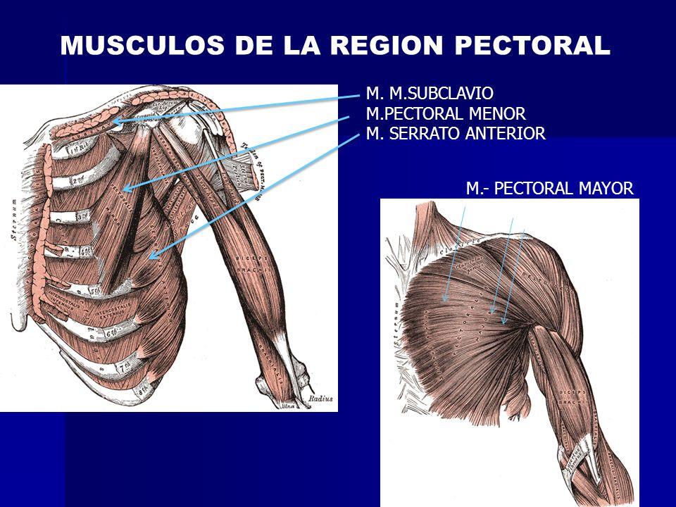 MUSCULOS DE LA REGION PECTORAL M. M.SUBCLAVIO M.PECTORAL MENOR M. SERRATO ANTERIOR M.- PECTORAL MAYOR