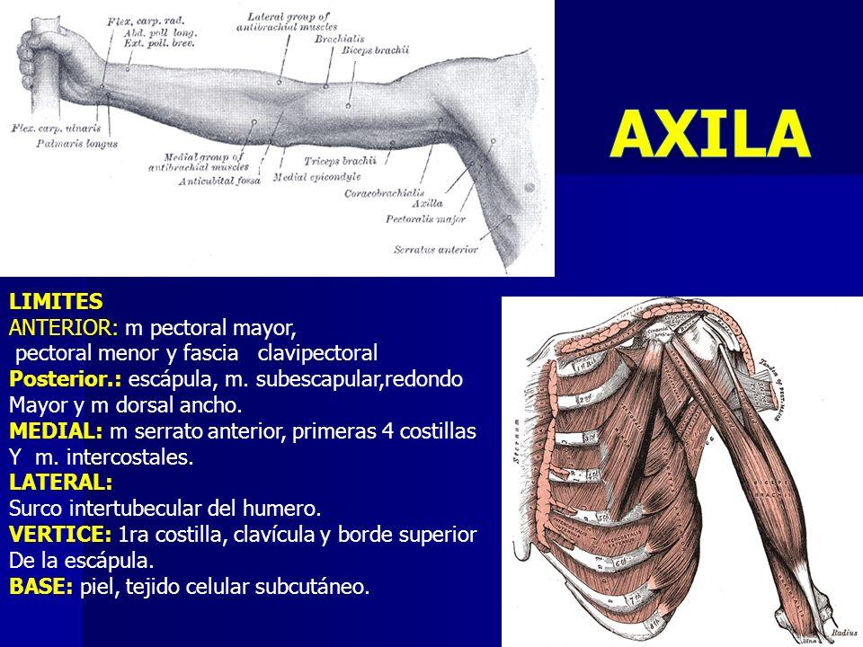 LIMITES ANTERIOR: m pectoral mayor, pectoral menor y fascia clavipectoral Posterior.: escápula, m. subescapular,redondo Mayor y m dorsal ancho. MEDIAL