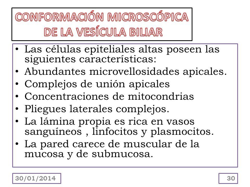 Las células epiteliales altas poseen las siguientes características: Abundantes microvellosidades apicales. Complejos de unión apicales Concentracione