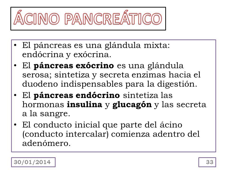 El páncreas es una glándula mixta: endócrina y exócrina. El páncreas exócrino es una glándula serosa; sintetiza y secreta enzimas hacia el duodeno ind